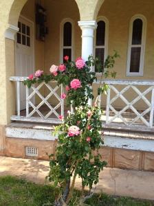 The original Convent roses