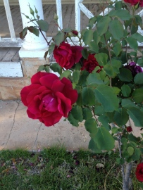 Good Samaritan rose
