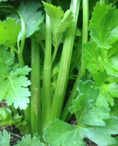 The Celery just needs another week or two before I can start picking