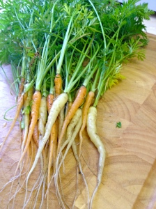 Mini mini carrots that hopefully will be multicoloured when mature