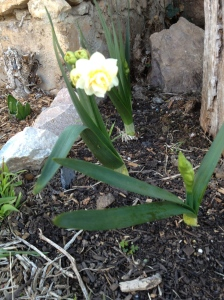One of the first daffodils - an Erlicheer