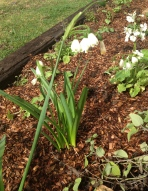 The humble Snowdrop has been one of the early successes