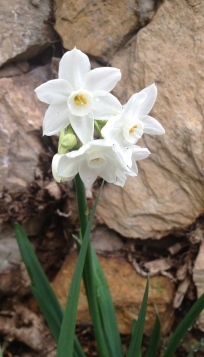 A white daffodil outside the Grotto