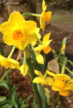 A cheery daffodil by the Grotto