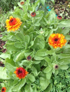A cheery Calendula grown from seed
