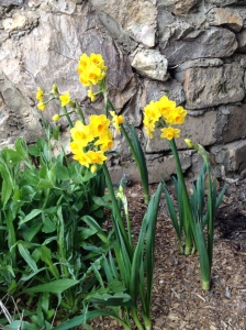 Cheery Daffodils brightening the Grotto