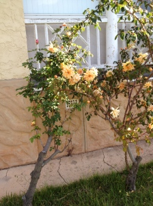 Another one of the original roses on the other side of the house. Yet to be identified.
