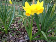 A little shy - miniature daffodils