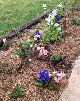 The garden bed off my verandah. Enjoying seeing the initial blue, white and pink coming together, albeit little is flowering. The Fairy rose is proving to be one of my favourites and I think we will see more of her.