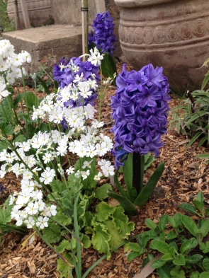 The Delft Blue Hyacinths playing the star of the side garden bed. Ten out of ten flowering their hearts out