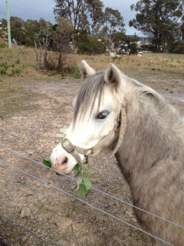 Smokey enjoying Convent radishes. It's lovely to have friendly ponies next door. I have my eyes on horse manure as well!