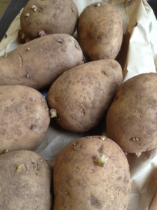 Seed potatoes becoming 'chits' - beginning to strike from the 'eyes'