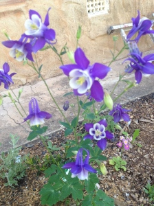 One of my all-time favourites - Aquilegia - and my favourite versions in blue