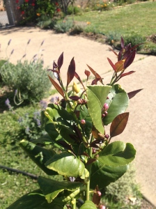 The lemons and limes flanking the back garden path are covered with new growth