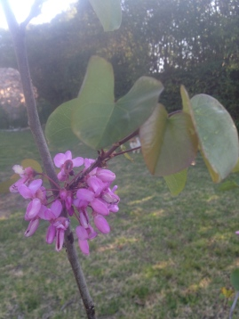 The Judas tree - these blossoms have lasted for weeks and the leaves have an attractive and distinctive shape