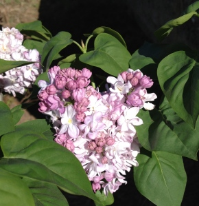 My first Lilac