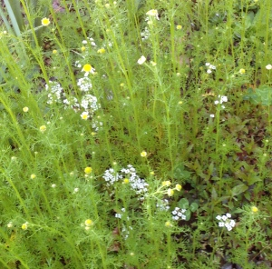 Chamomile just starting to flower. Jumped up a bit higher than a groundcover despite the whippersnapper.