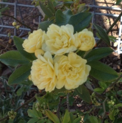 The first bloom on the Banksia Rose which is thriving despite an earlier setback being run over by a rampant car