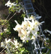 Clematis seem to thrive here