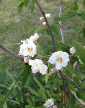 The flowering Crab Apple - still a small tree but has great promise and the blossoms are lovely. Hopefully they continue to appear a few weeks after the Prunus' finish.