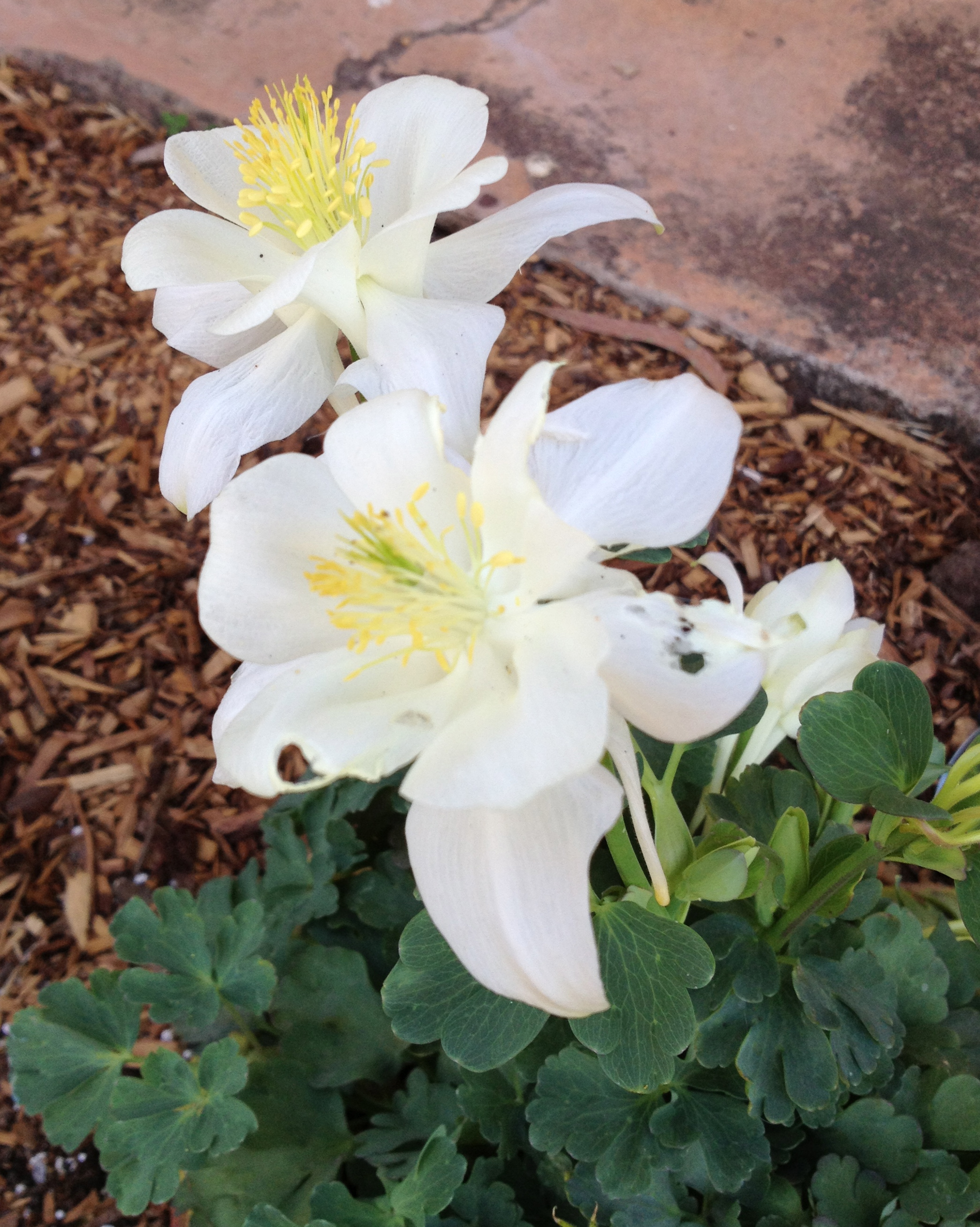 Aquilegia Grannys Bonnet Columbine A Flower By Any Other Name