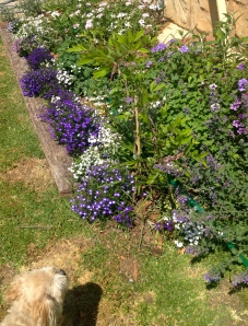 Lots of blue here with electric lobelias and verbena. That's Tango admiring the bed