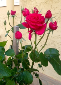 The standard Good Samaritan roses chose their time to flower well and were much admired