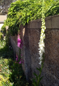 The Foxgloves on the back wall also chose their time well. Lots more of these and Hollyhocks next year!