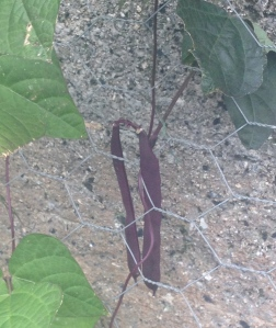 Climbing purple King Beans