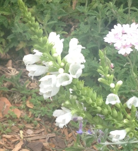 Physostegia (Obedient Plant) that I have in white, pink and lilac