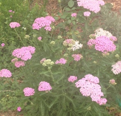 Pink Yarrow - just beautiful and a lovely cut flower. I hope I can propagate this