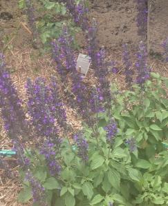 Mystic Spires Salvia