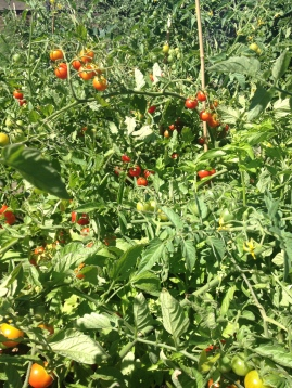 1 1/2 kilos didn't make a dent in this bed. Lots more harvesting still to be done. And lots more tomatoes still to ripen.