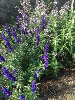 The blue salvias are electric