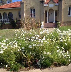 The white Cosmos work well in the front circular bed and soften the exterior of the Convent