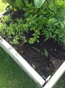 The refreshed raised garden beds. This one has turnip and betroot seedlings however one of the residents has been doing some gardening in the beetroots overnight.