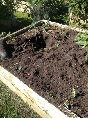 Probably about half a garden bed, including seedlings that were just taking hold.