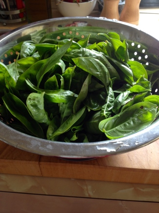 Picking the basil before the frosts hit. Lots of frozen pesto getting put away.