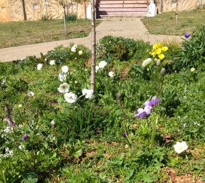 The central bed constantly changes - ranunculus and anenomes with lots of interesting things self-seeding including cornflowers and white cosmos