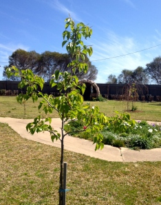 Manchurian Pear - just over a year old. Nice to see the green growth.