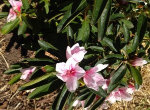 Alphone Anderson - part of a selection of older style large azaleas