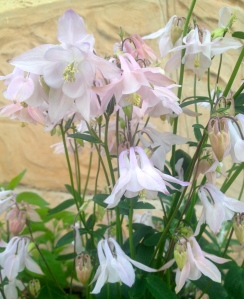 A pastel dusky pink - the first Aquilegia to flower.