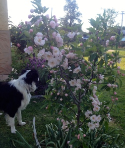 The crabapple - a late but sensational bloomer, with the sensational Popcorn!