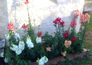 Snapdragons outside the Chapel