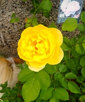 Graham Thomas, a David Austin rose. Roxy seems to think there may be a lizard nearby.
