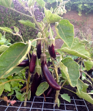 I love growing eggplants. The fruit is so dramatic and lovely.