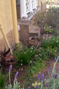 First section to tackle - on the verandah side. The lavenders and snowflakes brighten up this corner.