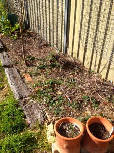 First cab off the rank - my replanted Strawberry bed. I have great hopes (well, at least, better) for my berries this year.