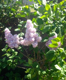 I have two Lilacs - a pale pink and a mauve. They were small when I bought them two years ago but look healthy and have flowered this year.