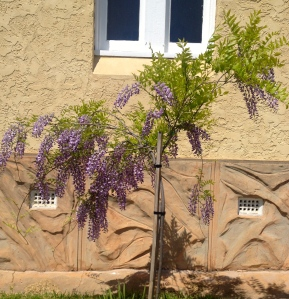 One of two standard Wisterias under the arched windows, just over a year old.